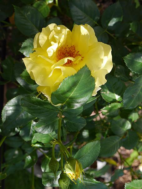 Des roses dans mon jardin. 0aD88