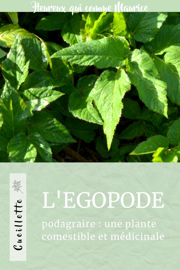 Egopode podagraire comestible et médicinale plante sauvage