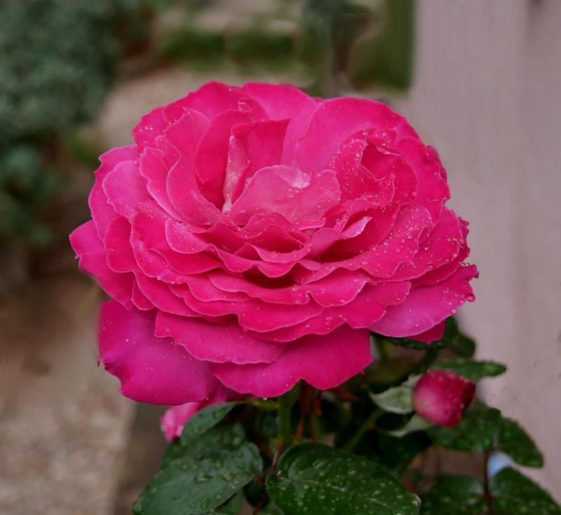 Des roses  DRR72