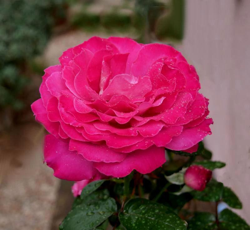 Des roses  GReLK