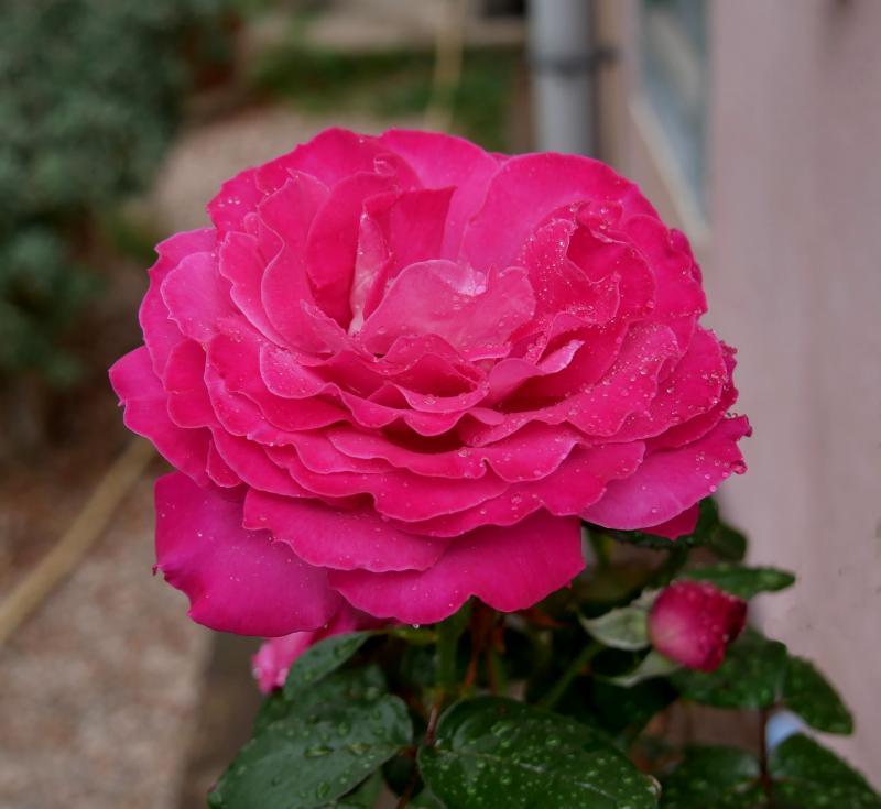 Des roses  N77XJ