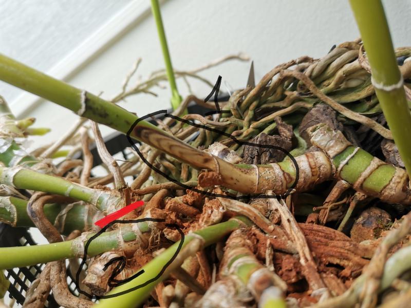 Problème sur Cattleya maladie demande d'identification et solution. ORRxe