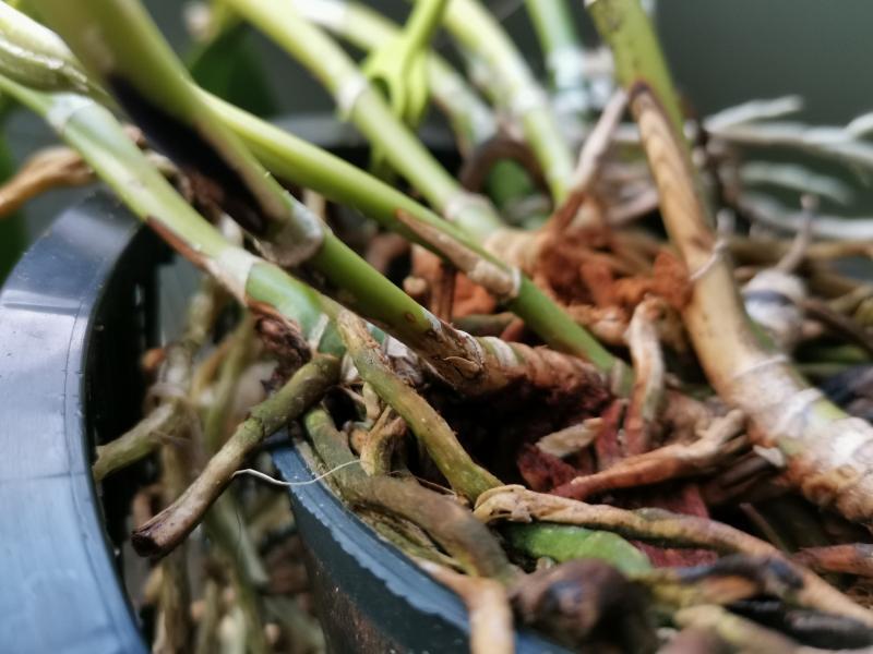 Problème sur Cattleya maladie demande d'identification et solution. XmeXE