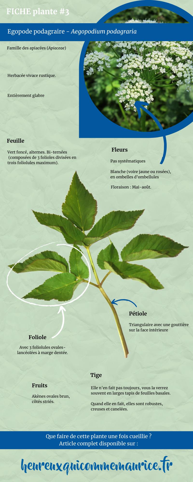 comment reconnaitre Egopode podagraire cueillette plantes sauvages médicinales comestibles
