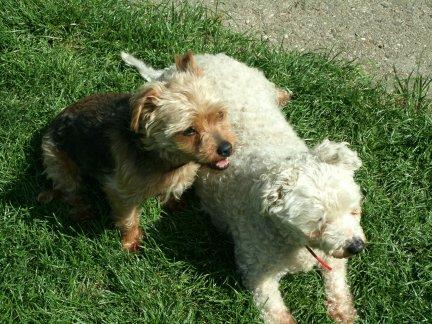 Mes chiens, Nougat et Biscotte Dn41E