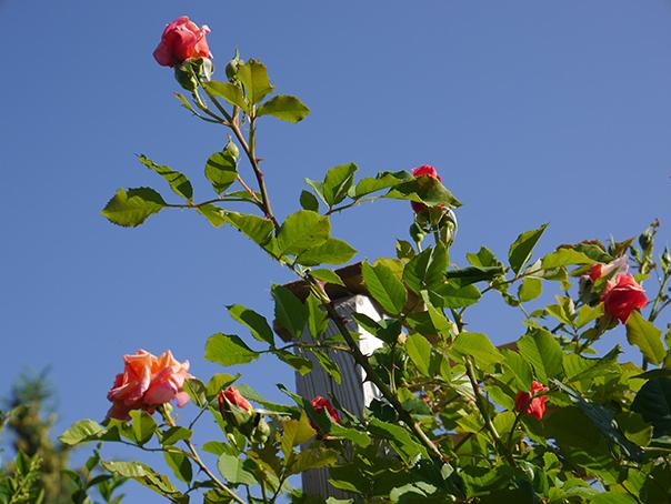 Des roses dans mon jardin. E3KJX