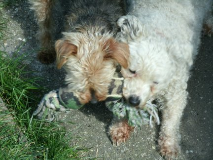 Mes chiens, Nougat et Biscotte VGdW7
