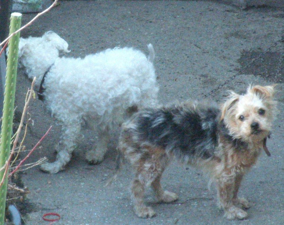 Mes chiens, Nougat et Biscotte - Page 2 VGdeA