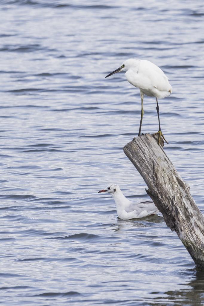 Sortie à la réserve ornithologique du Teich - 24 août 2018 - Page 2 DXNRw