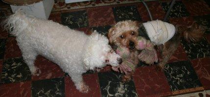 Mes chiens, Nougat et Biscotte DbvWr