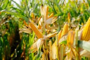 Maïs jaune à récolter