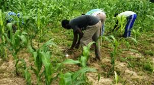culture de maïs jaune en côte d'ivoire