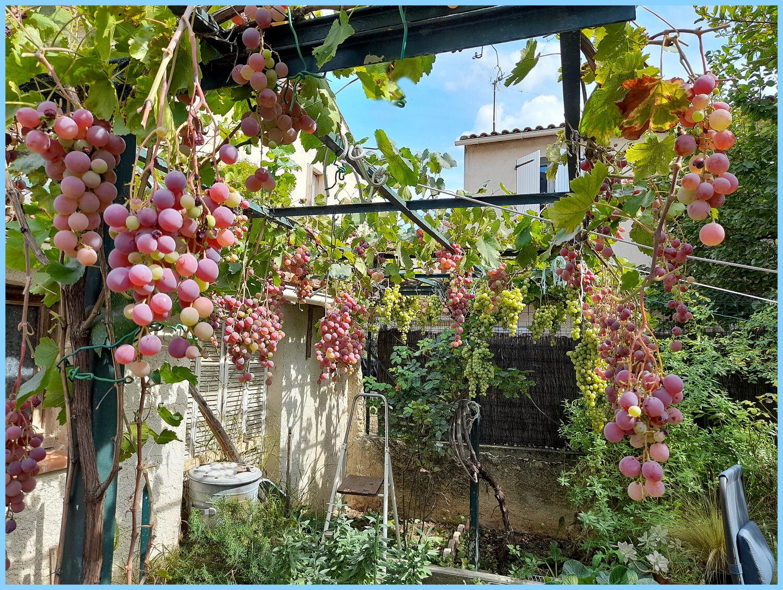 """Mes raisins """"Feuilles supprimées"""" Ma18p9"""