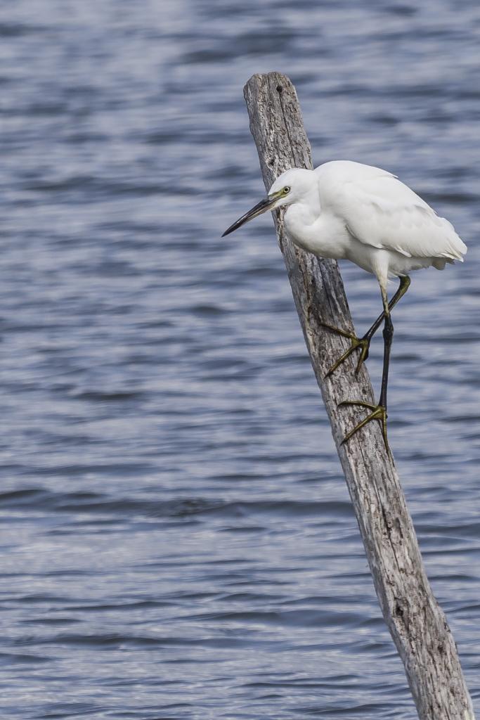 Sortie à la réserve ornithologique du Teich - 24 août 2018 - Page 3 NWmPl