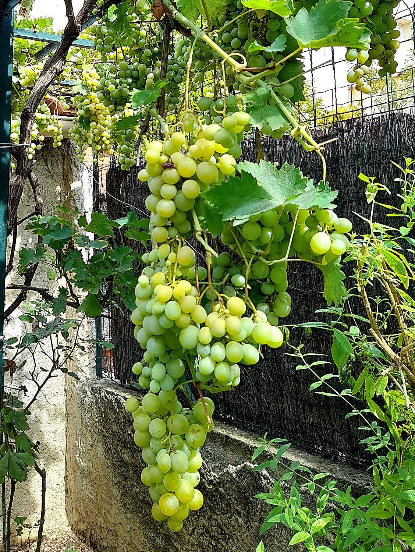 """Mes raisins """"Feuilles supprimées"""" Sun72g"""