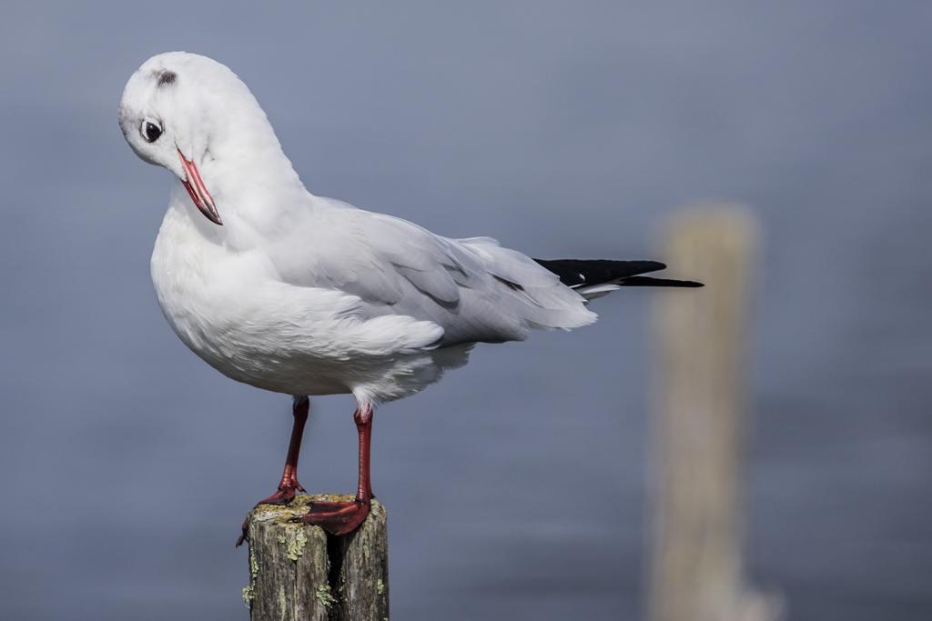 Sortie à la réserve ornithologique du Teich - 24 août 2018 - Page 2 WQoyR