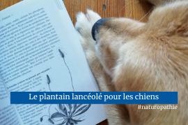 Plantain lancéolé plante médicinale chien naturopathie animale